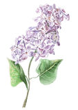 Lilac flower. Lilac flower Vector Watercolor  Hand drawn Royalty Free Stock Image