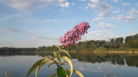 The lilac flower vibrates in the air against the blue sky. stock video