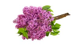 Lilac flower on white background Stock Images