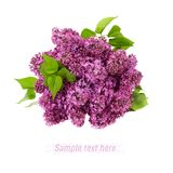 Lilac flower on white background Stock Photos