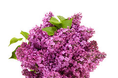 Lilac flower on white background Royalty Free Stock Photo