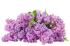 Lilac flower on white  background isolated Stock Image