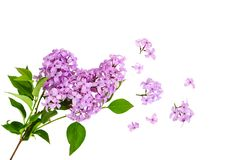 Lilac flower on white background Stock Photography