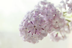 Lilac flower on a white background. Photo with selective focus and soft vintage toning Royalty Free Stock Photo
