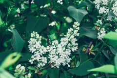 Lilac flower white spring bush Royalty Free Stock Photography