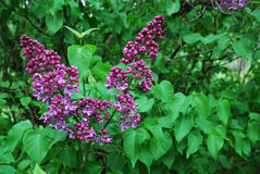 Lilac flowering Stock Photography