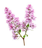 Lilac flowering barb Royalty Free Stock Image