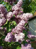 Lilac flowering Royalty Free Stock Photo