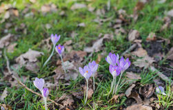 Lilac flowering crocuses in wild nature Royalty Free Stock Photos