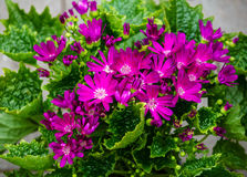 Lilac flowering Florist´s Cineraria Royalty Free Stock Images