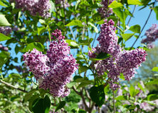 Lilac flowering Stock Images