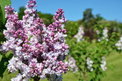 Lilac flowering in the spring garden Royalty Free Stock Photo