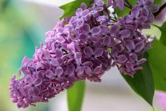 Lilac flowering at the springtime. Royalty Free Stock Images