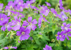 Lilac flowering woodland cranesbill Stock Photography