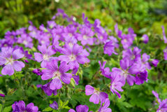 Lilac flowering woodland cranesbill Stock Images