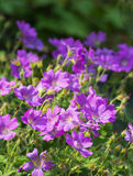 Lilac flowering woodland cranesbill Royalty Free Stock Photography