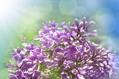 Lilac flowers. Beautiful lilac flowers on sky background stock photography
