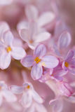 Lilac flowers. Beautiful lilac flowers close-up background stock images