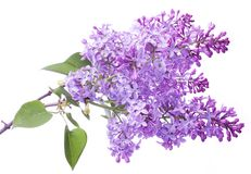 Lilac flowers. Lilac flowers, isolated on a white background Royalty Free Stock Photos