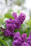 Lilac flowers. And beautiful bokeh Stock Photos