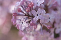 Lilac flowers. Macro Close up of lilac blossoms-soft focus Royalty Free Stock Photos