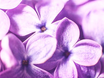 Lilac flowers Stock Photos
