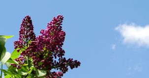 Lilac Flowers Against The Blue Sky stock footage