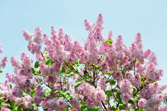 Lilac flowers against blue sky Stock Photos