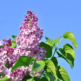 Lilac flowers. Against a blue sky in spring day Royalty Free Stock Photography