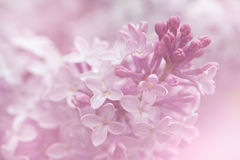 Lilac flowers background. Close-up macro shot in shallow DOF Stock Photography