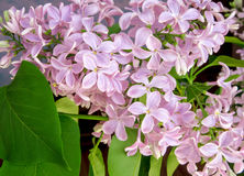 Lilac flowers background Stock Images