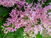Lilac flowers background Royalty Free Stock Photo