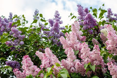 Lilac flowers on a background of the cloudy sky Royalty Free Stock Images