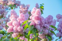 Lilac flowers on a background of green leaves and blue sky. Bright, sunny background of lilac flowers. Bright lilac flowers against the background of green royalty free stock images