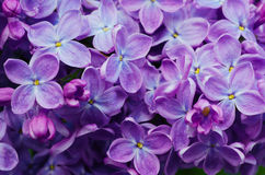 Lilac flowers background Royalty Free Stock Photography