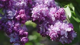 Lilac flowers background stock video