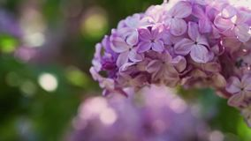 Lilac flowers background stock footage