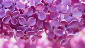 Lilac flowers background stock video footage