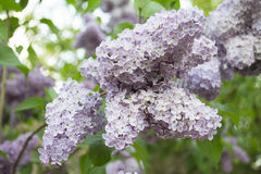Lilac flowers. In a beautiful perspective Stock Image