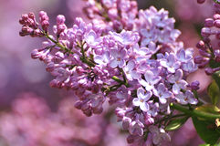 Lilac flowers in bloom Royalty Free Stock Image