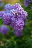 Lilac Flowers in Bloom. On out of focus background Stock Photo