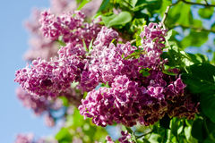 Lilac flowers. In bloom close up Royalty Free Stock Image