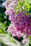 Lilac flowers. In bloom close up Royalty Free Stock Photography