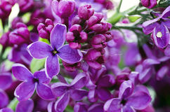 Lilac flowers. Royalty Free Stock Photo