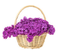 Lilac Flowers Blooming Bouquet in Basket Isolated over White Bac Royalty Free Stock Images