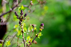 Lilac flowers blooming in springtime Stock Photography
