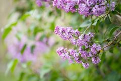 Lilac flowers blossom Royalty Free Stock Photos
