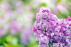 Lilac flowers blossom Stock Photography