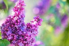 Lilac flowers blossom Stock Photos