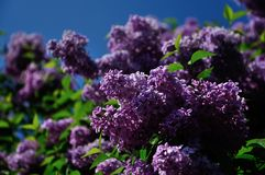Lilac flowers on blue background Royalty Free Stock Photos